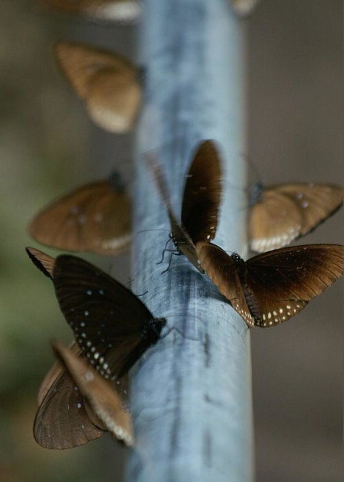 Butterfly Greeting Card featuring the photograph Brown Butterflies by Jessica Rose