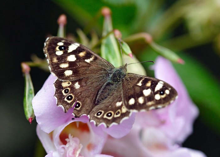 Butterfly Greeting Card featuring the photograph Brown Butterfly by Pierre Leclerc Photography