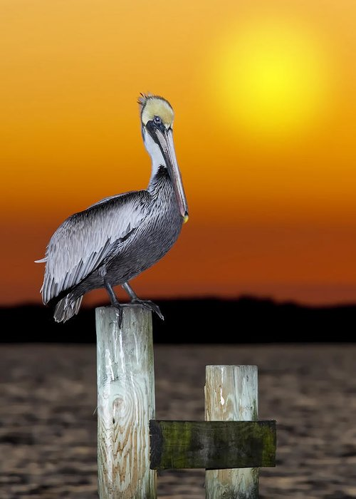 Brown Pelican Greeting Card featuring the photograph Brown Pelican by Janet Fikar