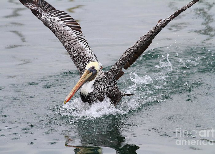 Animal Greeting Card featuring the photograph Brown Pelican Landing On Water . 7d8372 by Wingsdomain Art and Photography