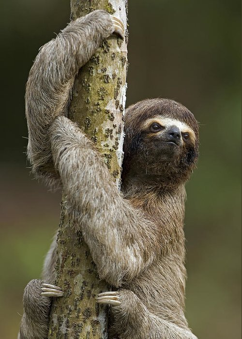 Mp Greeting Card featuring the photograph Brown-throated Three-toed Sloth by Ingo Arndt