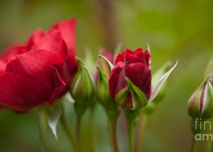 Rose Greeting Card featuring the photograph Bud Bloom Blossom by Mike Reid