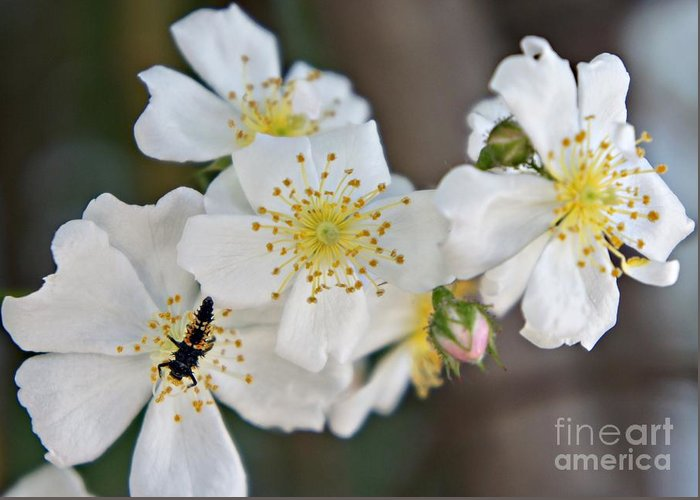 Bug Greeting Card featuring the photograph Bugaboo Apple Blossoms by Lilliana Mendez