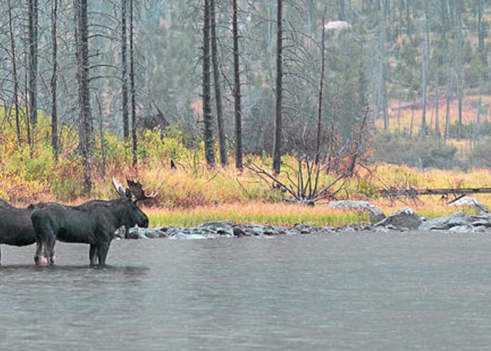 East Rosebud Greeting Card featuring the photograph Bull And Cow Moose In East Rosebud Lake Montana by Gary Beeler