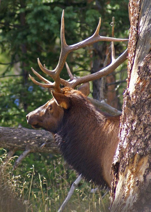 Elk Greeting Card featuring the photograph Bull Elk 2 by Heather Coen