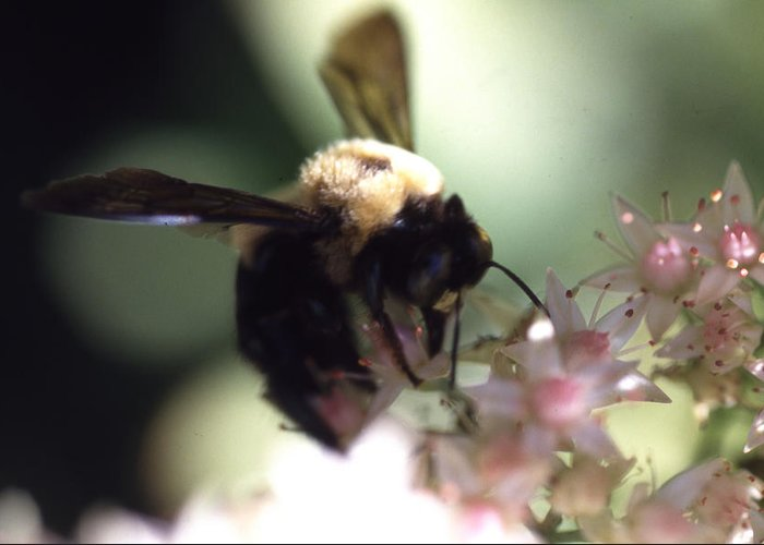 Greeting Card featuring the photograph Bumblbee Bzzz by Curtis J Neeley Jr