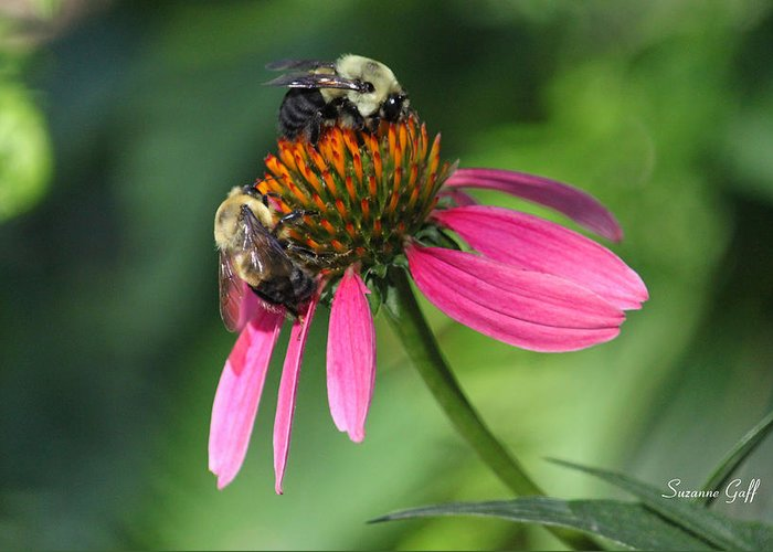 Bumble Bee Greeting Card featuring the photograph Bumble Bees At Work by Suzanne Gaff