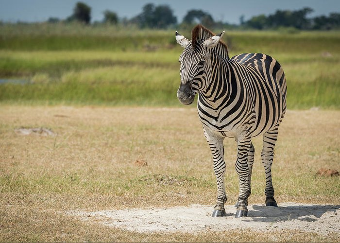 Africa Greeting Card featuring the photograph Burchell's Zebra On Grassy Plain Facing Camera by Ndp