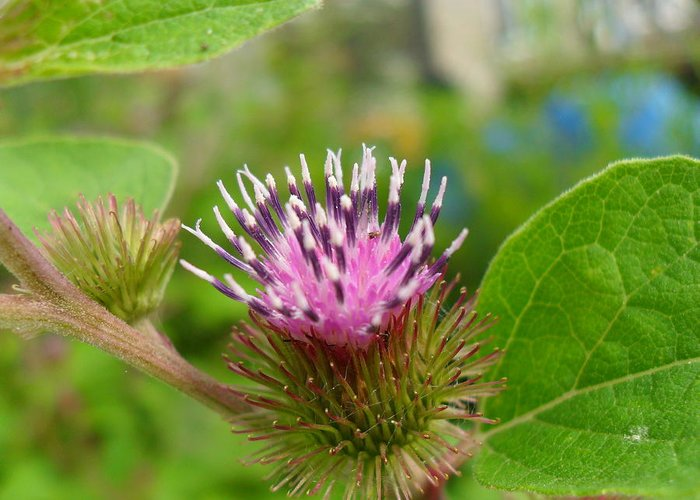 Burdock Greeting Card featuring the photograph Burdock by Peggy King