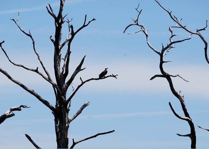 Wildlife Greeting Card featuring the photograph Burnt-tree Osprey by Peter McIntosh