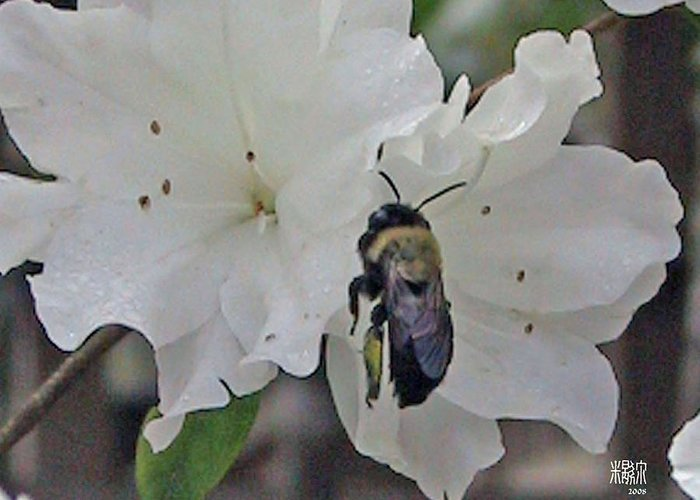 Flowers Greeting Card featuring the photograph Busy Bee by Michele Caporaso