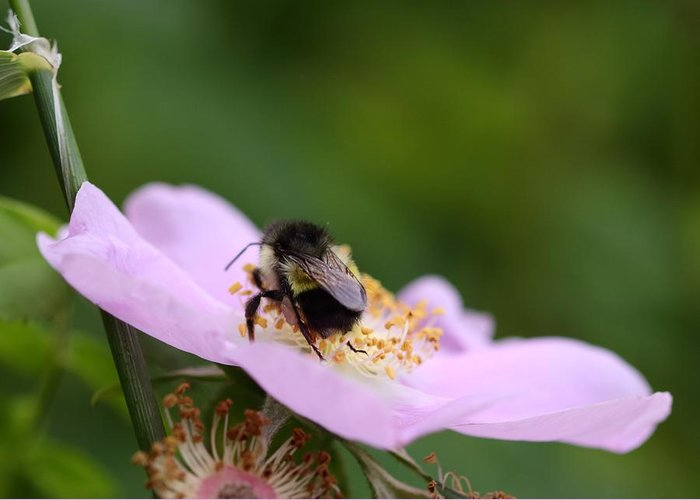 Bumble Bee Greeting Card featuring the photograph Busy Bumble by I'ina Van Lawick