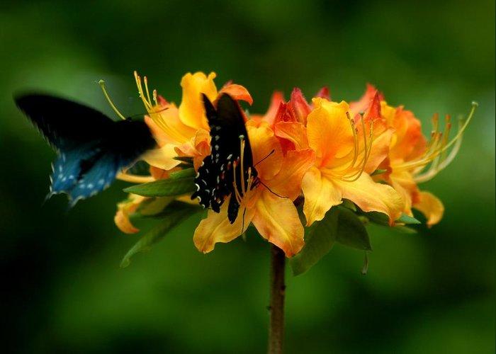 Butterflies Greeting Card featuring the photograph Butterflies On Yellow Azalea by Bob Guthridge