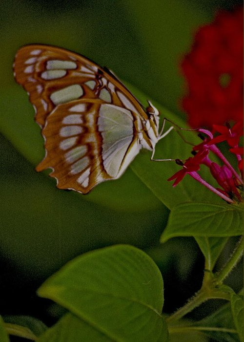 Butterfly Greeting Card featuring the photograph Butterfly 4 by Michael Peychich