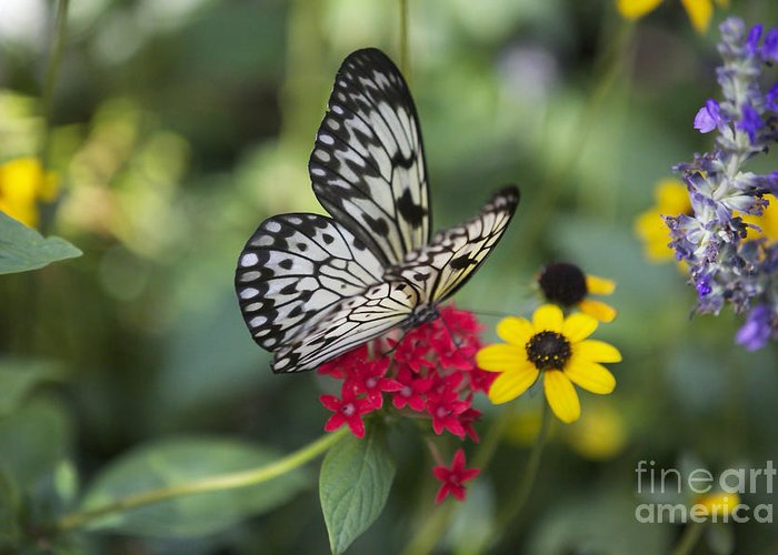Idea Leuconoe Greeting Card featuring the photograph Butterfly Dream by Carol Groenen