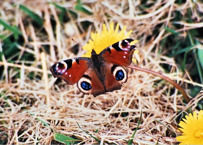 Ireland Greeting Card featuring the photograph Butterfly In Ireland by Ellen Lerner ODonnell