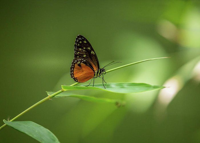 Butterfly Greeting Card featuring the photograph Golden Helicon Butterfly by Jimmy Tran