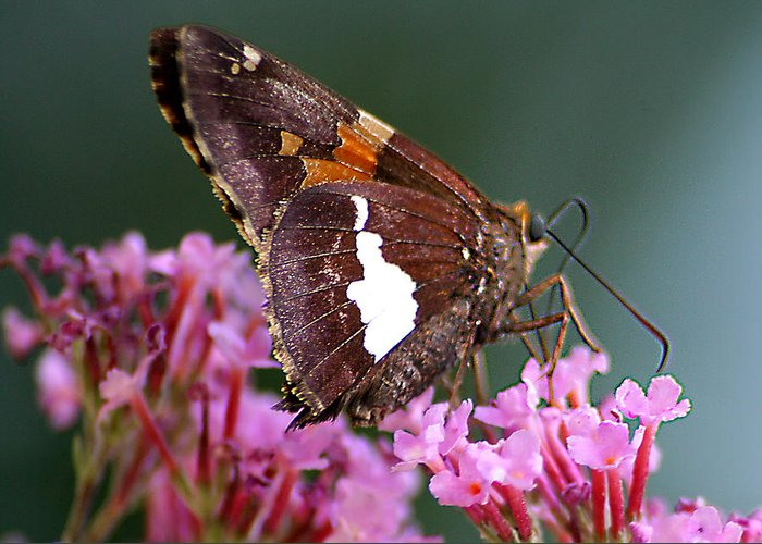 Greeting Card featuring the photograph Butterfly-licking by Curtis J Neeley Jr