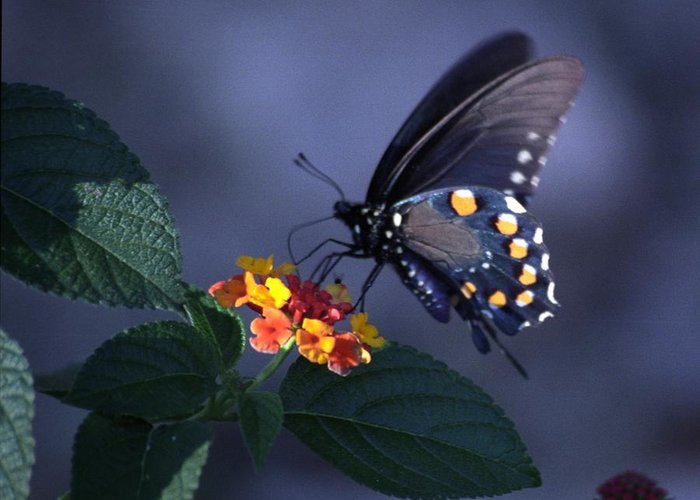 Butterfly Greeting Card featuring the photograph Butterfly On Flower by Bob Guthridge