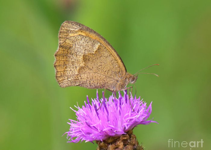 Meadow Brown Butterfly Greeting Card featuring the photograph Butterfly On Knapweed by Genevieve Vallee
