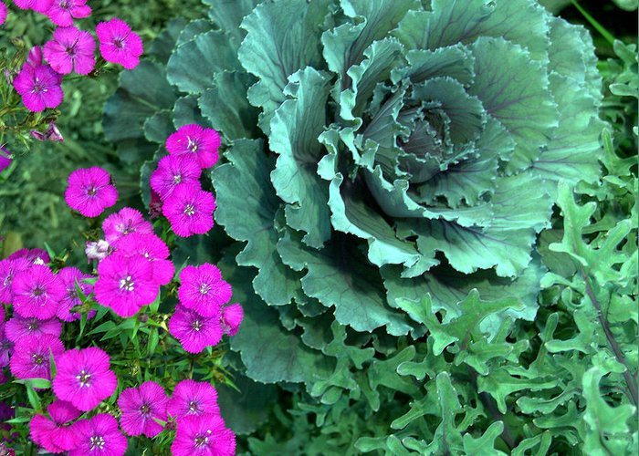 Flowers Greeting Card featuring the photograph Cabbage And Vinca by Heather S Huston
