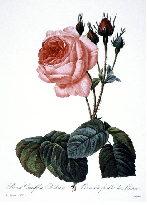 1833 Greeting Card featuring the photograph Cabbage Rose by Granger