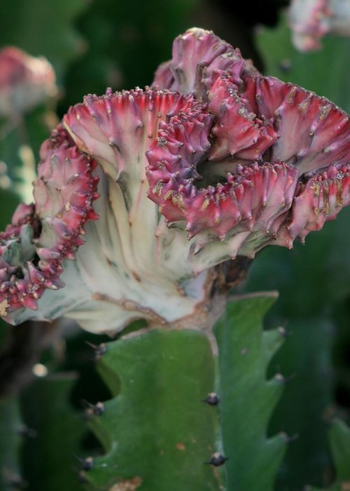 Nature Greeting Card featuring the photograph Cactus In Bloom by Valia Bradshaw
