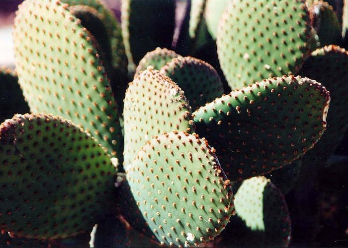 Field Greeting Card featuring the photograph Cactus by Margaret Fortunato