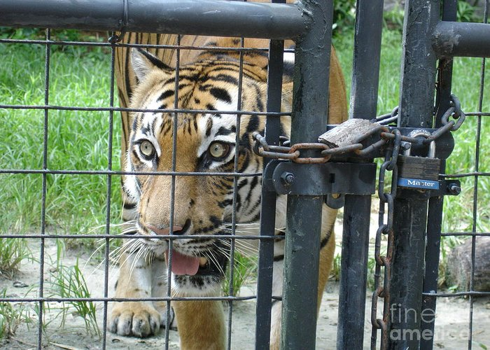 Tiger Greeting Card featuring the photograph Caged by Robyn Leakey