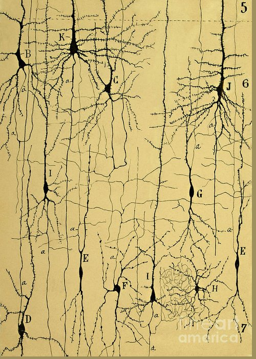 Science Greeting Card featuring the photograph Cajal Drawing Of Microscopic Structure Of The Brain 1904 by Science Source