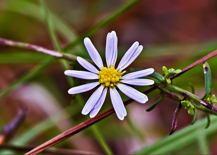 Landscape Greeting Card featuring the photograph Calico Aster by Michael Whitaker