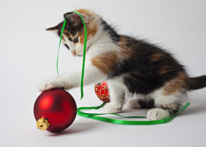 Calico Kitten Christmas Ornaments Greeting Card featuring the photograph Calico Kitten And Christmas Ornaments by Garry Gay
