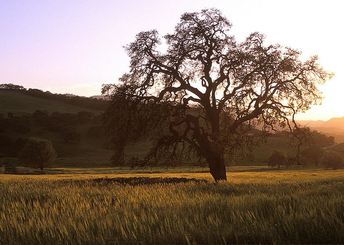 Oak Trees Greeting Card featuring the photograph California Hwy 25 Oak by Kathy Yates