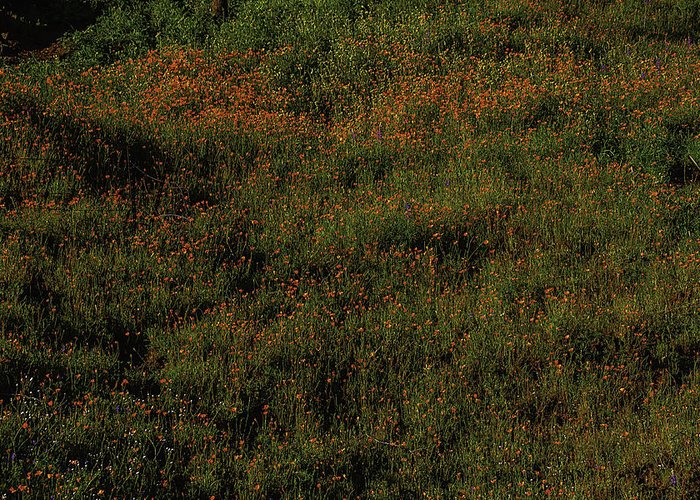 Hill Side Greeting Card featuring the photograph California Poppies by Garry Gay