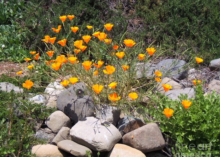 Artoffoxvox Greeting Card featuring the photograph California Poppies Photograph by Kristen Fox