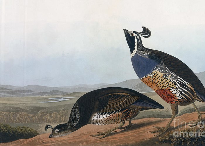 Californian Partridge Greeting Card featuring the drawing Californian Partridge by John James Audubon