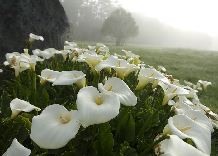 Beauty In Nature Greeting Card featuring the photograph Calla Lilies Zantedeschia Aethiopica by Keenpress