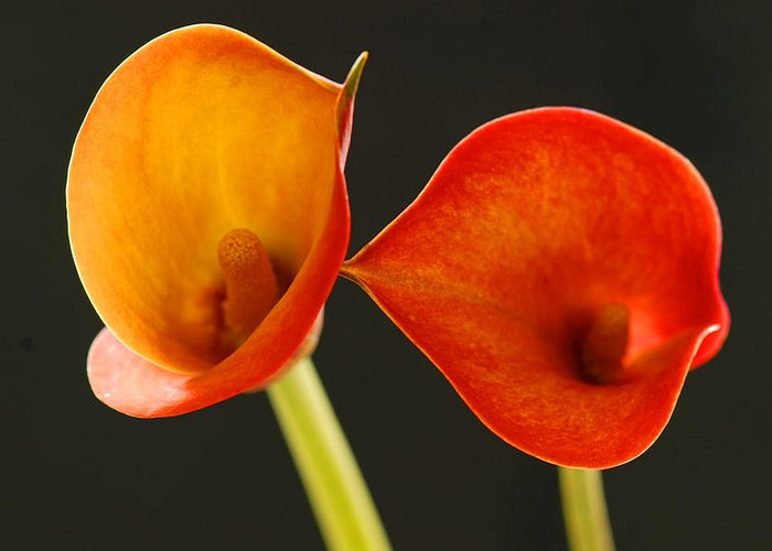 Flower Greeting Card featuring the photograph Calla Lily by Dennis Hammer