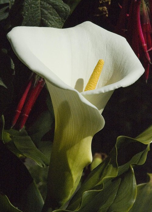 Flower Greeting Card featuring the photograph Calla Lily by Jerry Weinstein