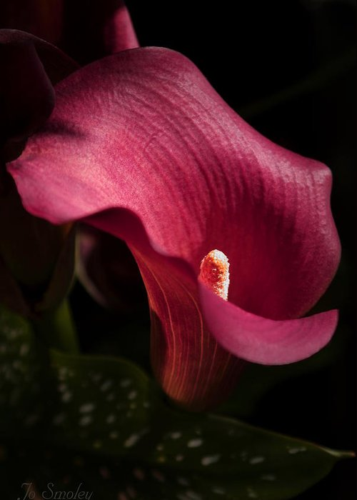 Calla Greeting Card featuring the photograph Calla Lily by Joanne Smoley