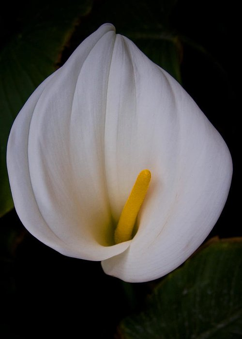 Flowers Greeting Card featuring the photograph Calla Lily by John McKinlay