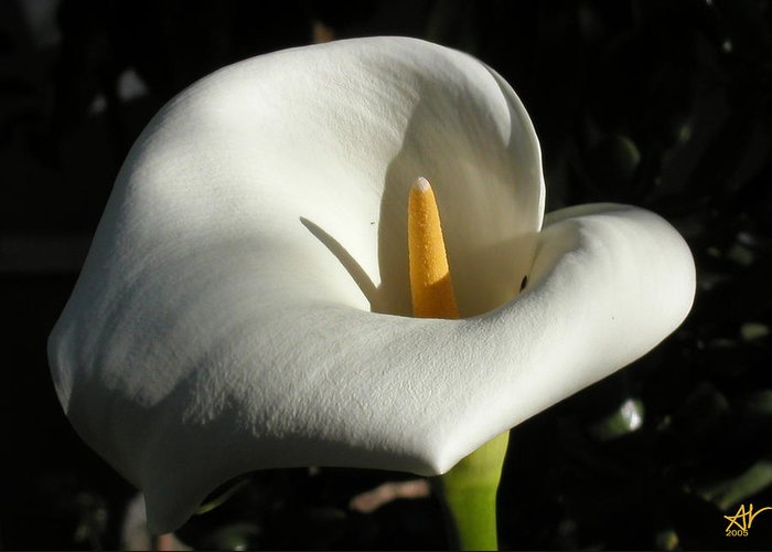 Flowers Greeting Card featuring the photograph Calla Lily-santa Monica - 2005 by Ann Tracy