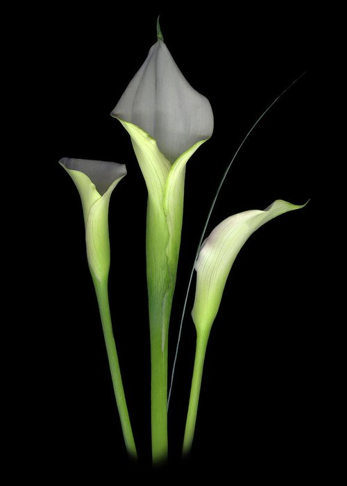 Calla Lilys Greeting Card featuring the digital art Calla by Sandi F Hutchins