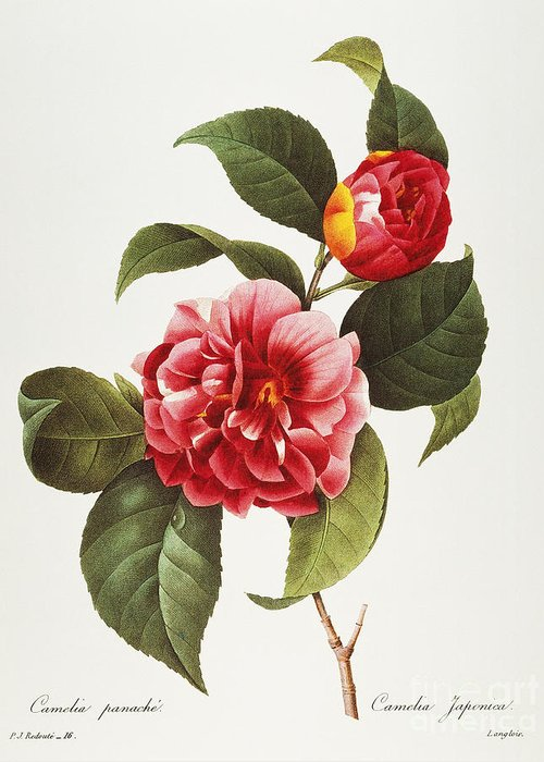1833 Greeting Card featuring the photograph Camellia, 1833 by Granger
