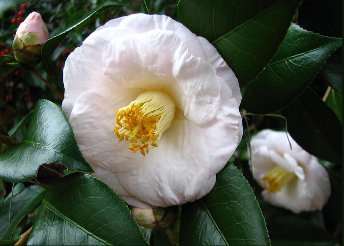 Camellia Greeting Card featuring the photograph Camellia 2 by J M Farris Photography