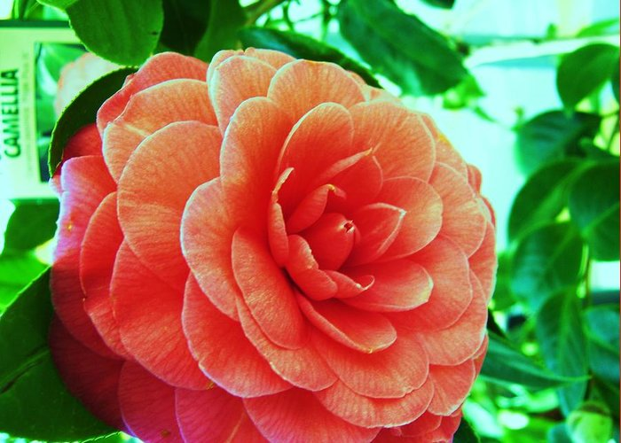 Bella ! Camellia. Greeting Card featuring the photograph Camellia by Nereida Slesarchik Cedeno Wilcoxon