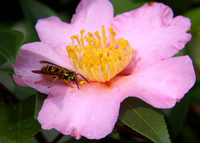 Floral Greeting Card featuring the photograph Camilia Bee by Paul Anderson