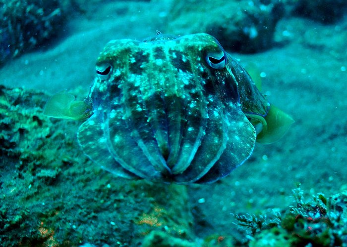 Greeting Card featuring the photograph Camo Cuttlefish by Todd Hummel