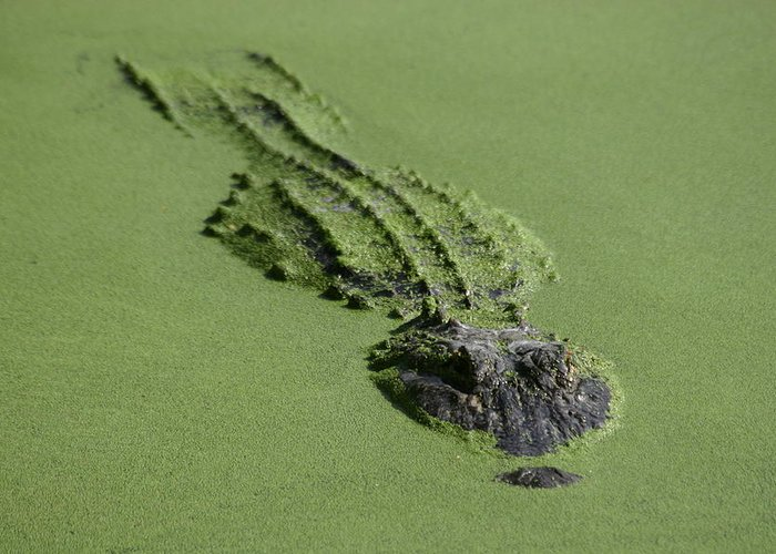 Aligator Greeting Card featuring the photograph Camouflage by Hans Jankowski