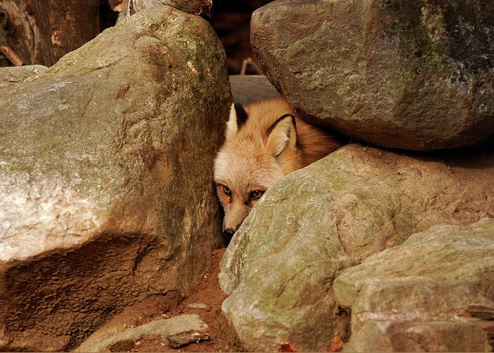 Fox Greeting Card featuring the photograph Can I Come Out Yet by Lori Tambakis